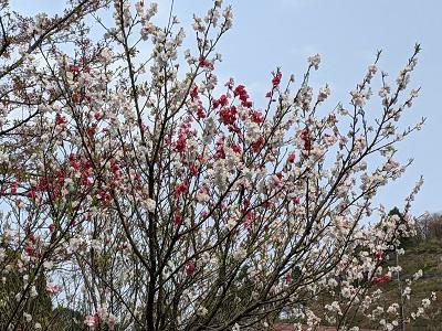 源平咲きの桜